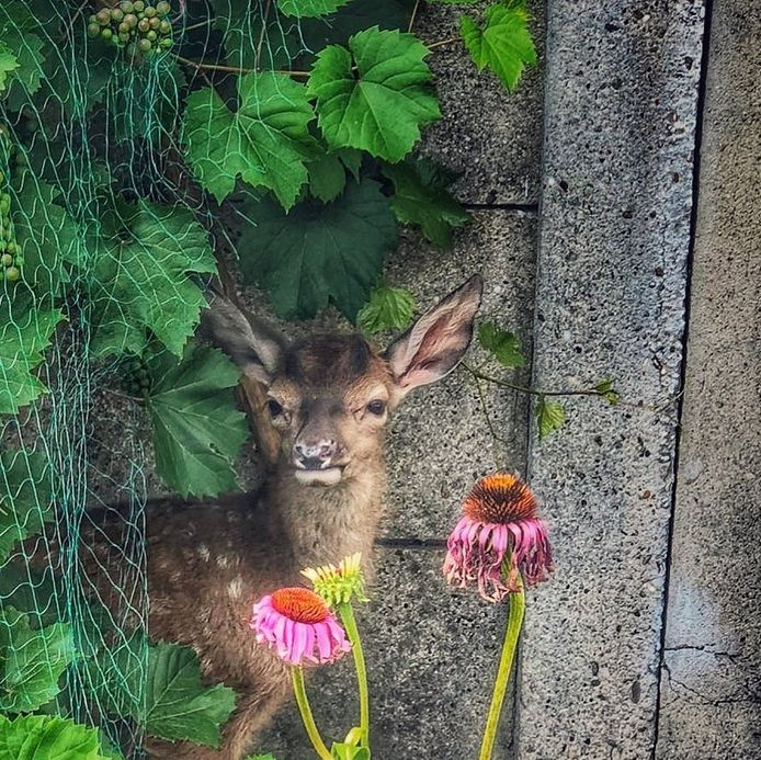 In Harderwijk werd een hertje in een tuin gehouden. De politie heeft het dier in beslag genomen.