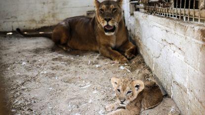 Zoo met uitgemergelde dieren enkele maanden na sluiting weer open. En toestand lijkt minstens even erg
