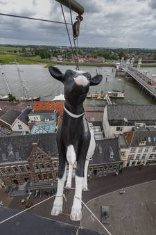 Maandje rust voor Kamper koe