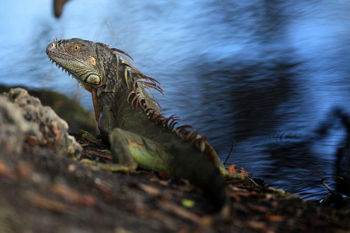 Een leguaan warmt zich in de zon. Door het subtropische klimaat gedijen de dieren goed in Florida