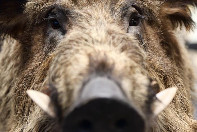 Medewerkers van een bedrijf in Eersel schrokken zich een hoedje toen zij ineens oog in oog stonden met een wild zwijn.