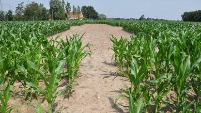 """Volta. duikt opnieuw een maand de maïs in: """"Vrienden leerden elkaar kennen aan de lange tafel"""""""