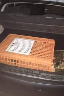 Politie vindt twaalf illegaal gevangen ganzenkuikens in kofferbak