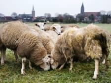 Gras voor schapenpoten weggemaaid in Linschoten