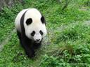 Panda Wu Wen.