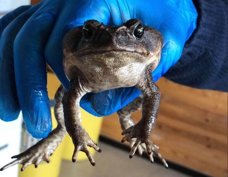 De reuzenpad zoekt na zijn lange overtocht een baasje.