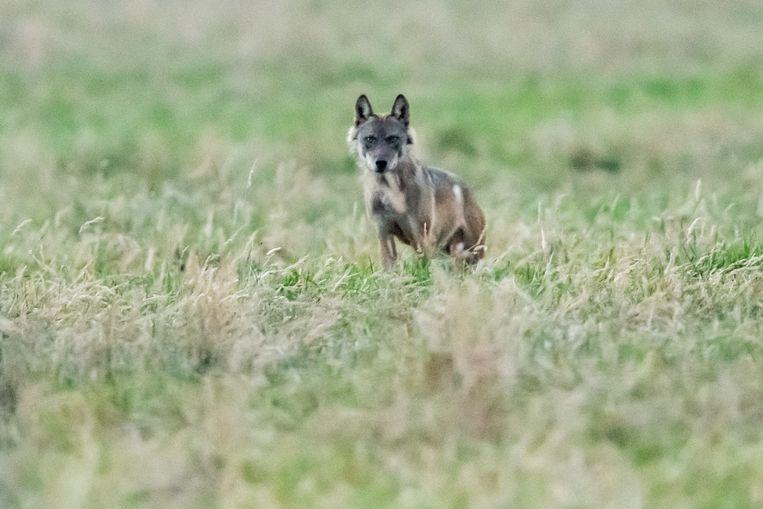 Wolf Billy in Berlaar.