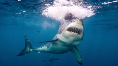 Haai takelt surfer toe in Australië
