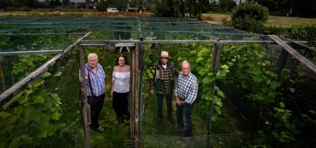 Wijngaard in volkstuintje in Aalst: 'tipsy' naar huis