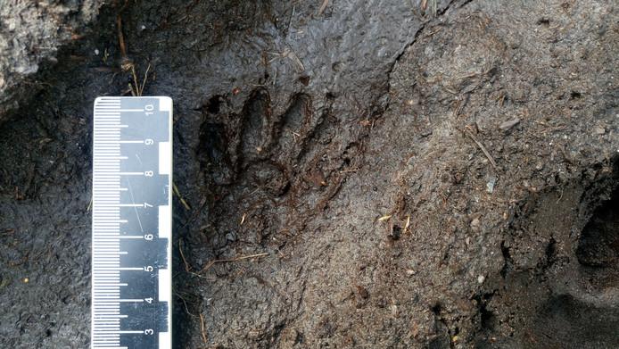 Een pootafdruk van de wasbeer ín een bos bij Deventer