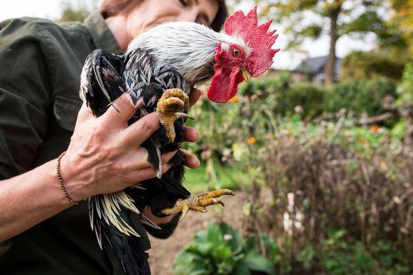Als je graag kippen wil laten loslopen in de tuin, neem er dan met korte pootjes
