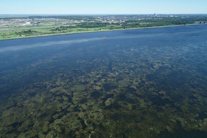Op het Gooimeer is vanuit de lucht goed te zien hoe de waterplanten als een deken op het water liggen. Op de achtergrond is een maaiboot bezig.