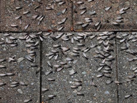 Vliegende mieren duiken massaal op in Zeeland, maar geen zorgen: het is maar tijdelijk