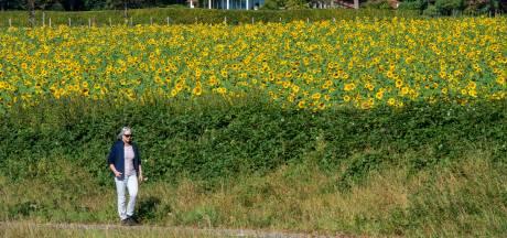 Zonnebloemen zijn dé blikvanger van de nazomer op Landgoed Mariëndaal
