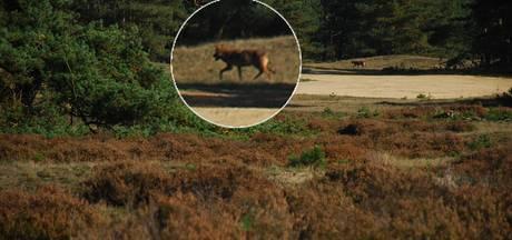 Op jacht naar de wolf: waar verstopt hij zich?
