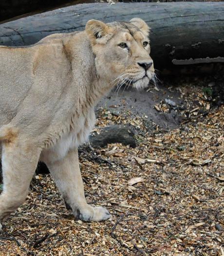 Blijdorp verlost leeuwin Shantee (19) uit haar lijden