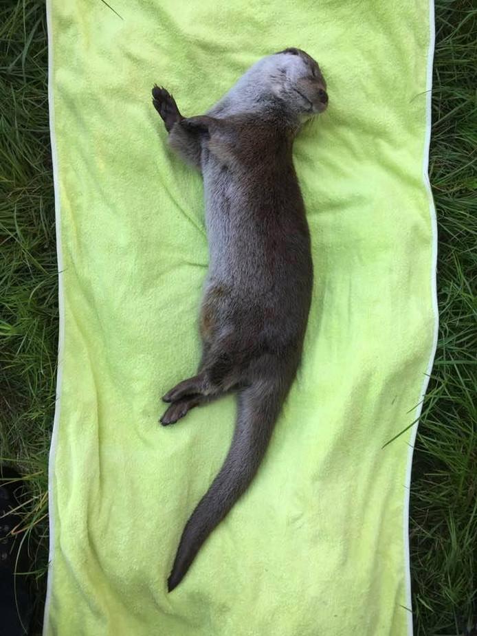De dode moeder-otter. Foto Harvey van Diek