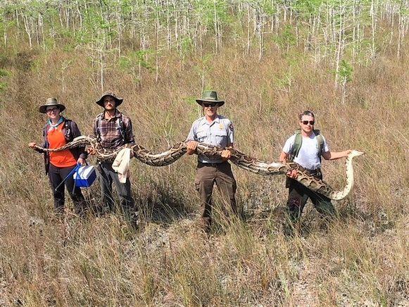 Onderzoekers poseren met de 'recordpython' van 5,2 meter lang en 63,5 kilo. Het reptiel droeg 73 eieren.