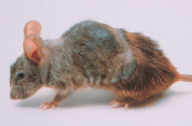 De snel verouderde muis.