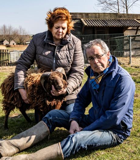 Voorzitter kinderboerderij over onthoofde en geslachte schapen in Olst: 'Dit is een vakman geweest'