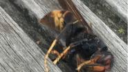 Aziatische hoornaar gespot in Nieuwerkerken
