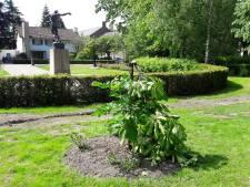 Anne Frankboom in Waalwijk enkele uren na reparatie wéér vernield, 'Dit is een aanslag op goed fatsoen en verdraagzaamheid'