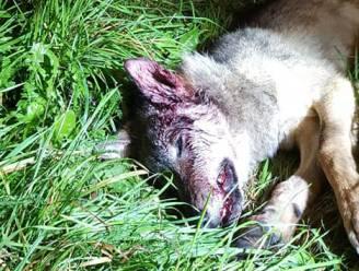 Opnieuw wolvenwelp doodgereden in Limburg