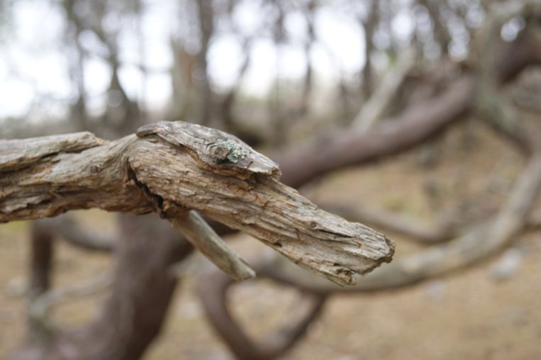 In het noorden van Öland ligt een 'trollenbos' Beeld