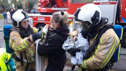 Brandweer redt chihuahua's uit brandende woning en dient ze tijdig zuurstof toe: gezin krijgt elders onderdak na verwoestende brand