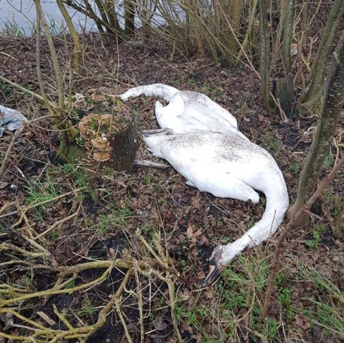 Dode zwanen zijn zaterdagavond gevonden in IJsselmuiden