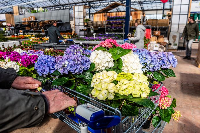 De handel in seizoensproducten waaronder deze hortensia's is in vrijwel heel Europa ingestort door de coronacrisis. Kwekers in Boskoop blijven nu met een onverkoopbare voorraad zitten.