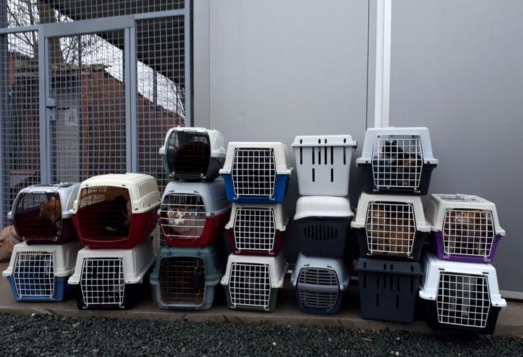 De twintig katten (in de twee grote boxen zitten er twee) die het dierenasiel Ninove opvangt na een inbeslagname.