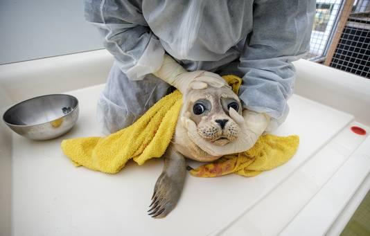 Een zieke zeehond in opvang A Seal aan het Haringvliet in Stellendam
