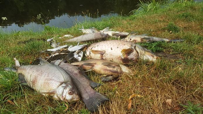 Vissen In Vijver : Honderden dode vissen uit hengelose vijver gehaald hengelo