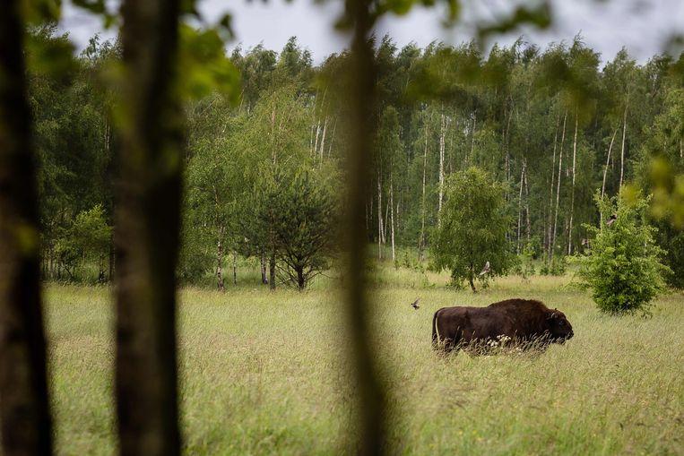 Een Europese bizon in Bialowieza (mei 2016).  AFP PHOTO / WOJTEK RADWANSKI Beeld AFP