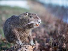 Duitse ratten rukken op naar Twentse wateren: 'Populatie sterk gegroeid door zachte winters'