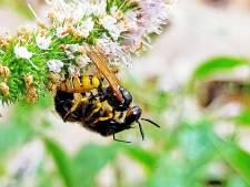 De bijenwolf zorgt voor brute moordpartijen in de tuin, en gaat er daarna snel vandoor