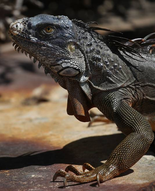 Het jagen op leguanen is legaal in Florida, zolang de dieren snel en zonder lijden worden gedood.