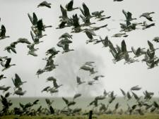 'Landbouwstop rond luchthaven beste middel tegen ganzenoverlast'