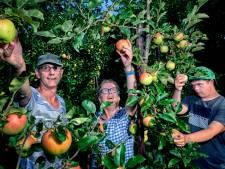 Hittestress in de boomgaard: appels met brandblaren en mini-peren