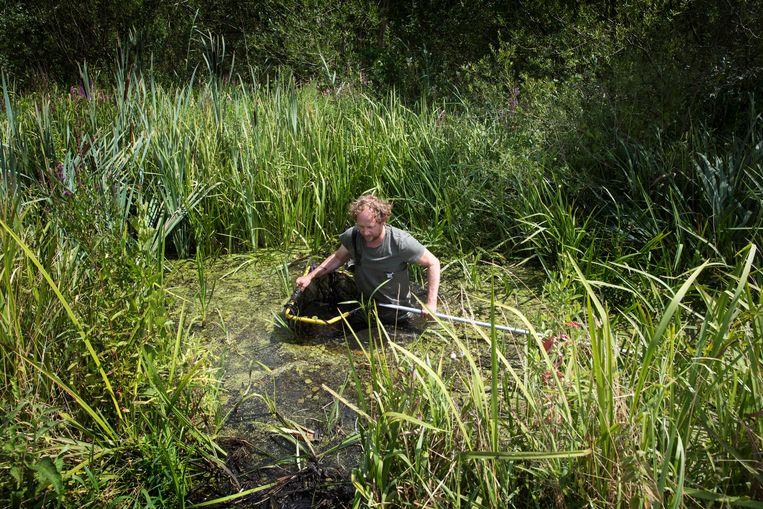 Arthur de Bruin waadt door de sloot op zoek naar de grote modderkruiper. Beeld Werry Crone