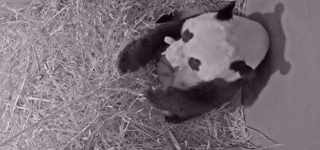 Pandababy spartelt, drinkt en lijkt al te groeien in Ouwehands Dierenpark