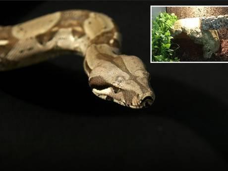 Boa constrictor 'Spike' uit Duiven nog spoorloos