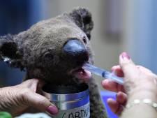 Australië treurt om het lot van honderden koala's