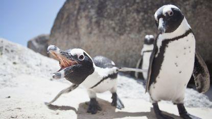 Spermabank moet Afrikaanse pinguïn redden van uitsterven