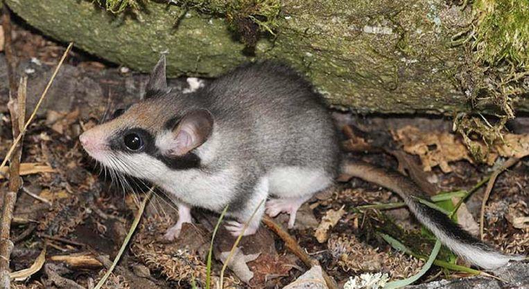 De eikelmuis heeft een opvallend zorromasker.