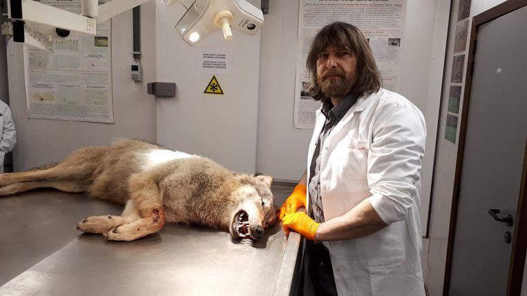 Voor bioloog Koen Van Den Berge is het de eerste keer dat er een wolf op zijn autopsietafel ligt.
