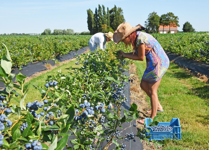 Teelt van blauwe bessen bij Spitsbroek in Eede.