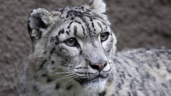 Drie sneeuwluipaarden in Amerikaanse zoo besmet met corona