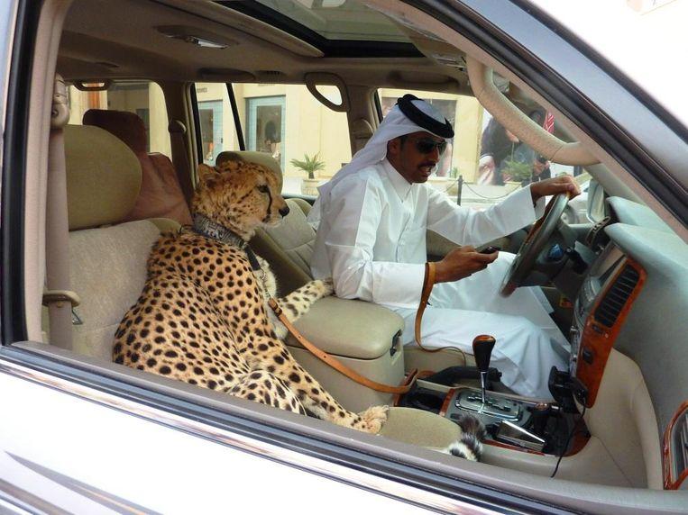 Een man gaat een stukje rijden met zijn Cheeta. Beeld